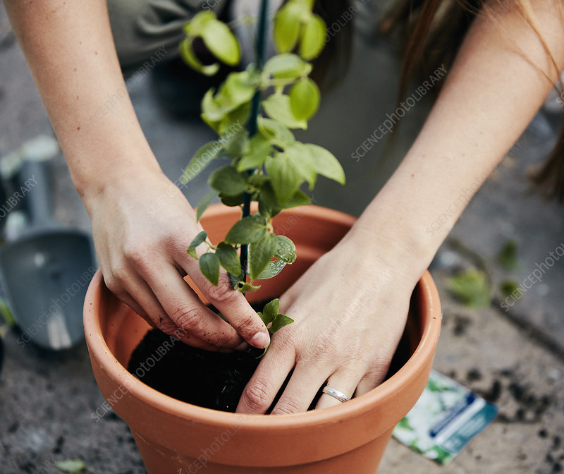 Person potting up a plant in a terracotta pot
