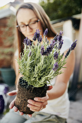 Young woman holding rooted lavender plant