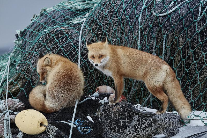 Two Ezo red fox