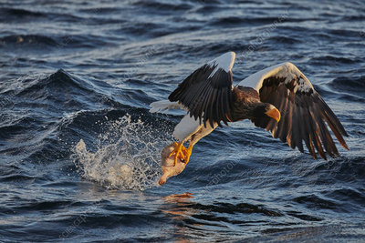 Steller's sea eagle fishing