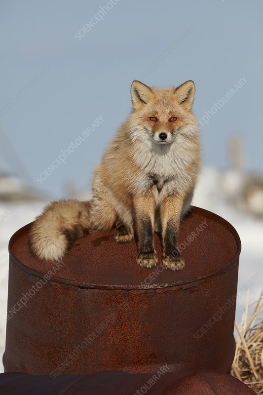 Ezo red fox in winter