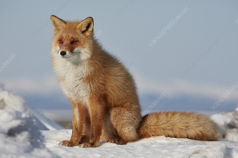 Ezo red fox in winter