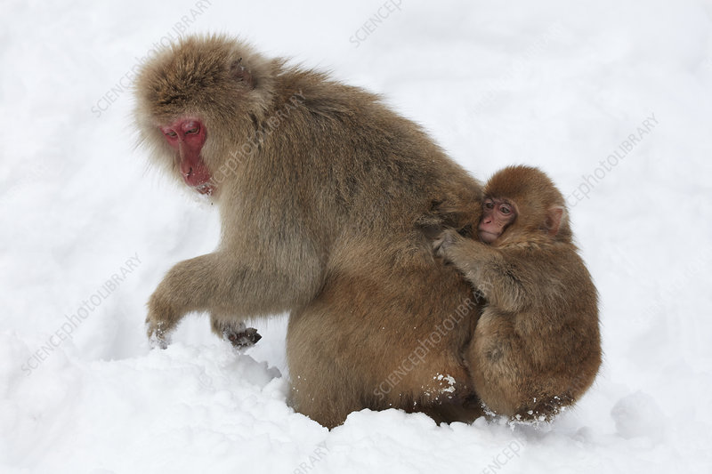 Japanese macaque carrying young in snow
