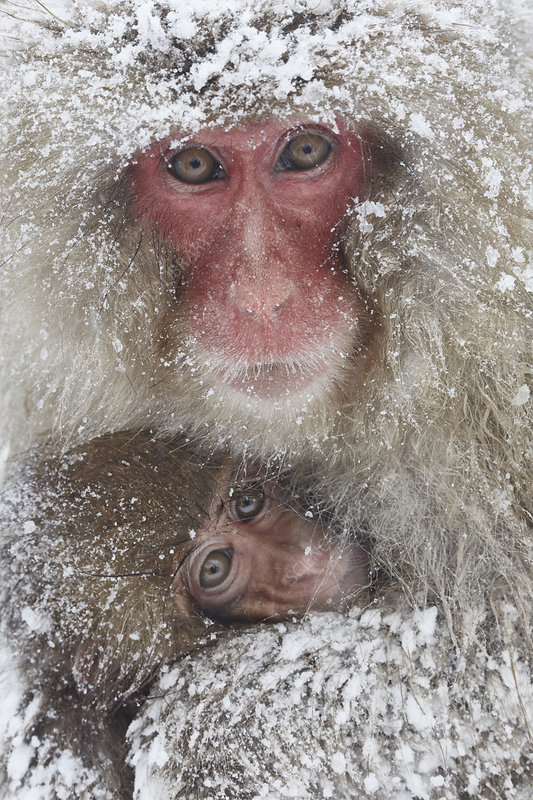 Japanese macaque family huddling in snow