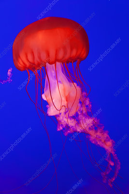 Pacific Sea Nettle Jellyfish, aquarium
