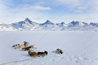 Pack of Huskies resting on ice