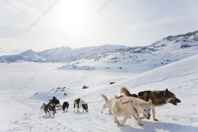 Pack of Huskies pulling a sledge