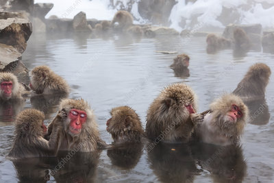 Japanese macaques bathing