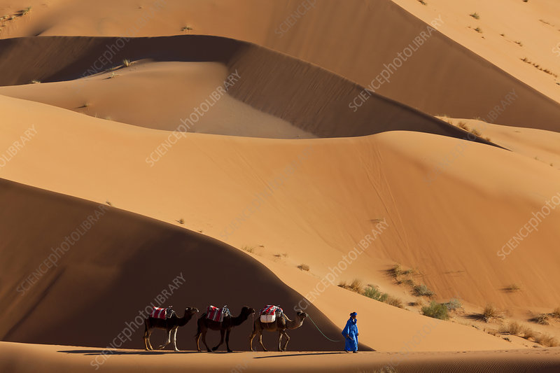 Tuareg man leading camel train through Sahara desert