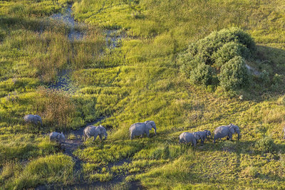 Aerial view of a herd of African elephants