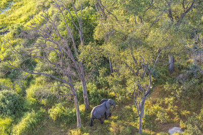 Aerial view of African elephant