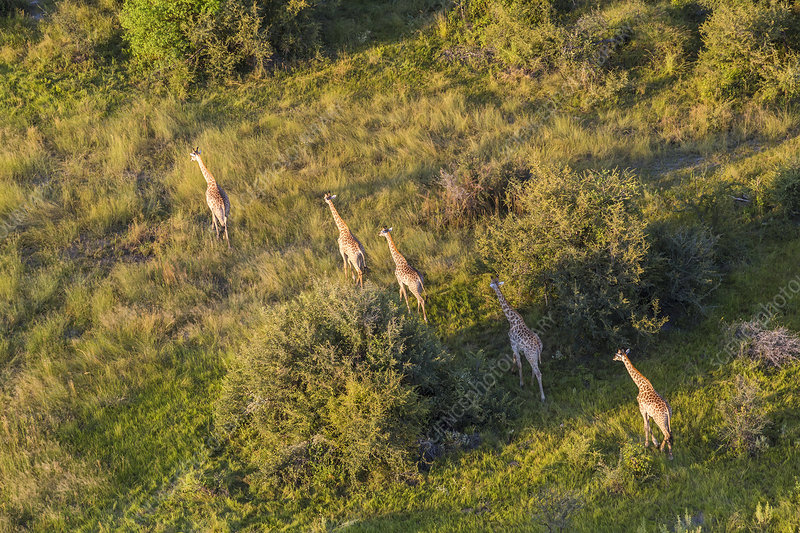 Aerial view of five giraffes