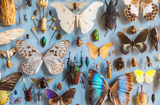 Butterflies and beetles in museum display case