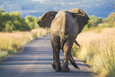 Rear view of African Elephant walking along a rural road