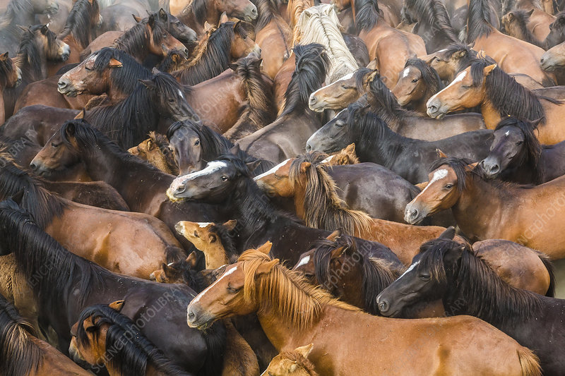 Large herd of wild horses