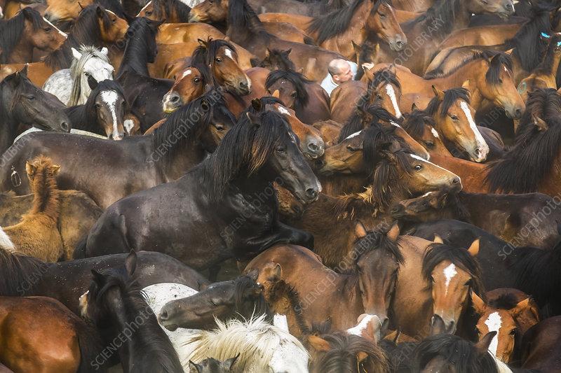 Large herd of wild horses