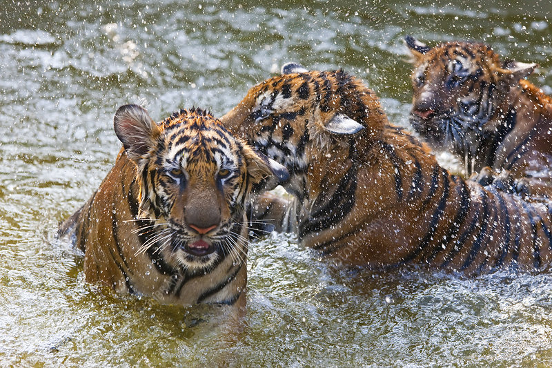 Three tigers in watering hole
