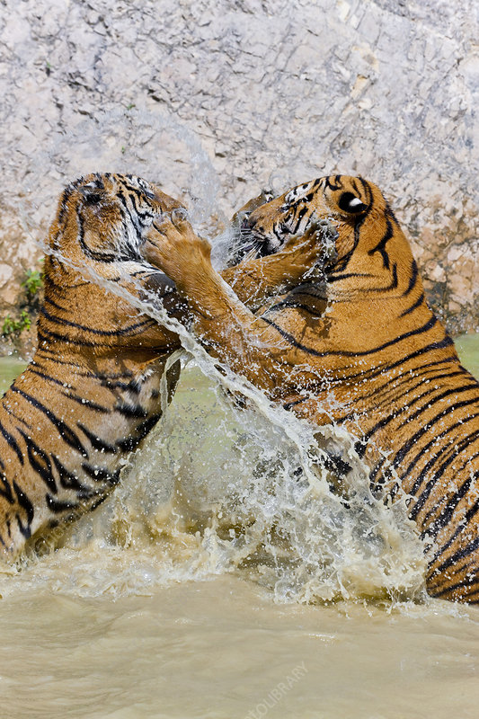 Tigers fighting on hind legs in watering hole
