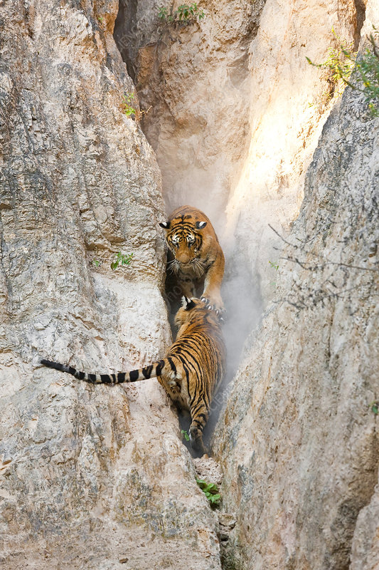 Two tigers in a narrow gorge