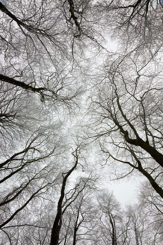 Low angle view of tree canopy in winter