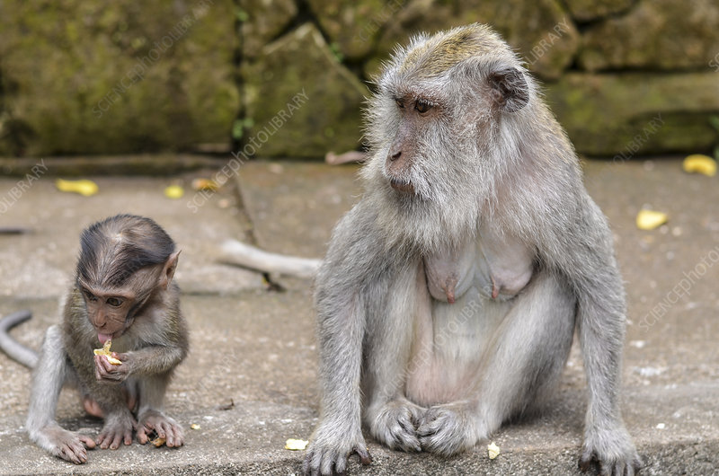 Adult and baby Grey long-tailed macaque