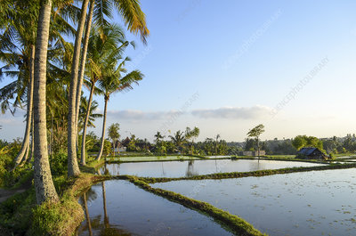 Small rice plants growing in paddy fields