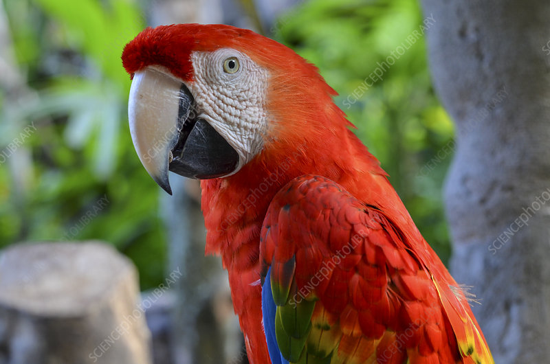 Close up of large red parrot