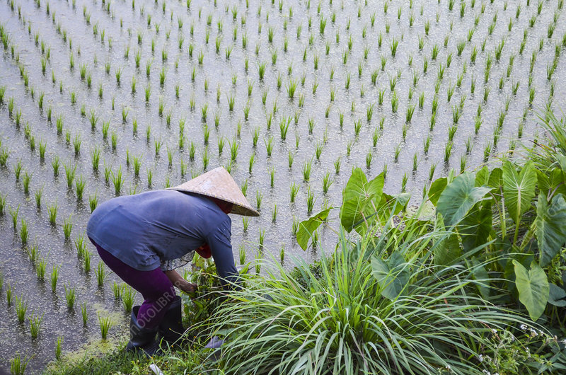 Woman working in paddy field