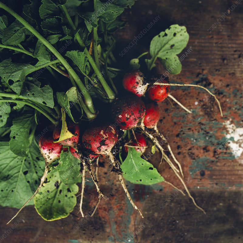 Freshly picked organic radishes on wooden table