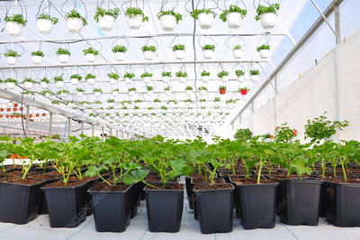 Plants in commercial greenhouse