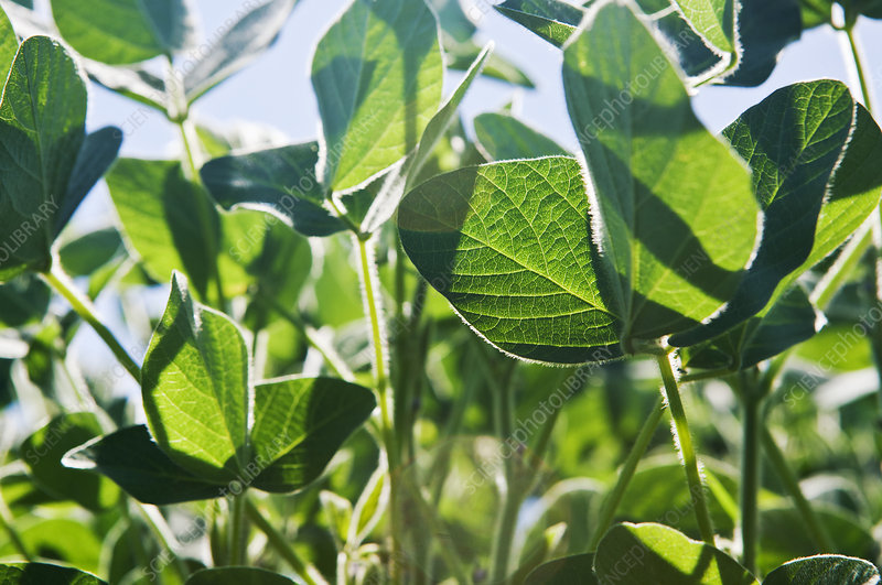 Soy plants, close-up
