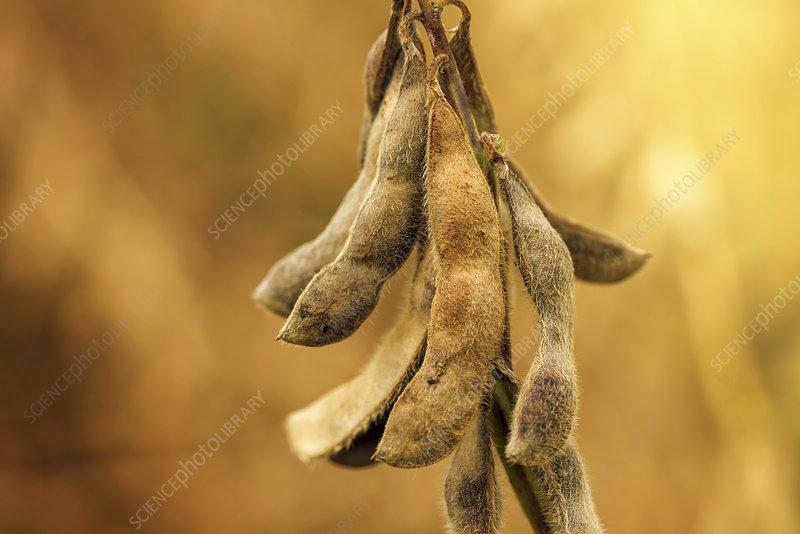 Ripe soybean pods, close-up