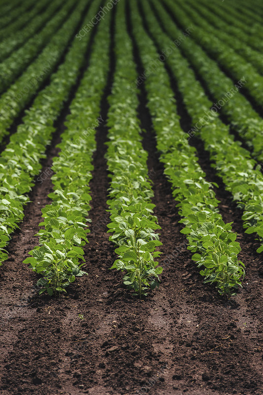 Rows of cultivated soybean plants