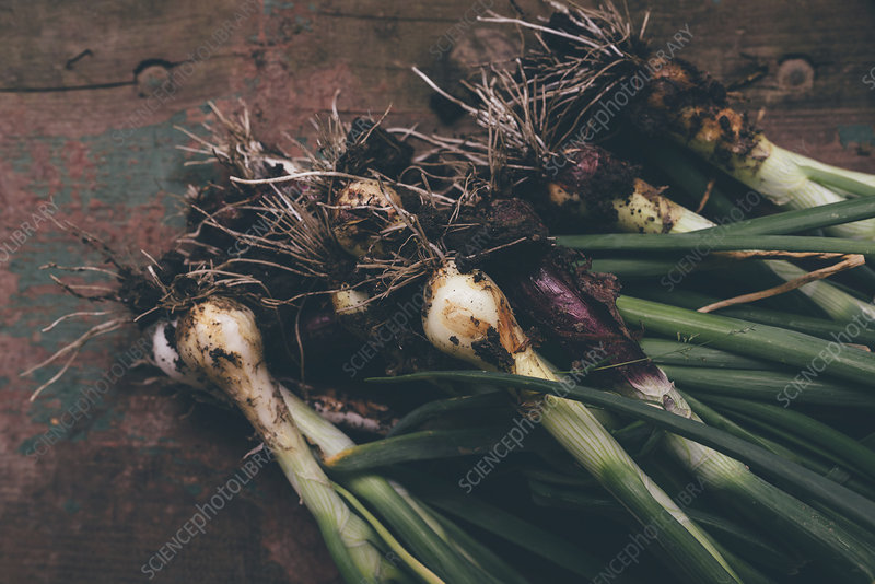 Freshly picked spring onions