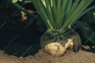 Sugar beet root in ground