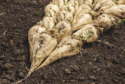 Harvested sugar beet crop