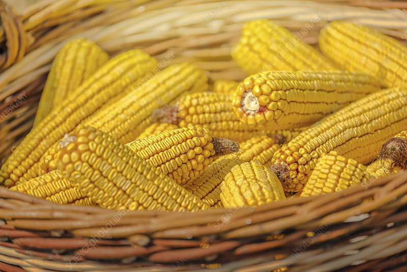 Close up of harvested corn in wicker basket