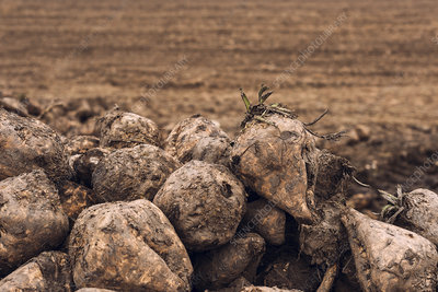 Harvested sugar beet