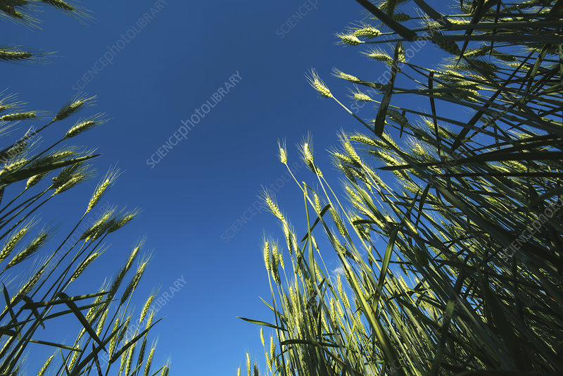 Field of barley, low angle view