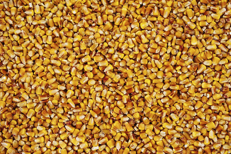 Maize grains