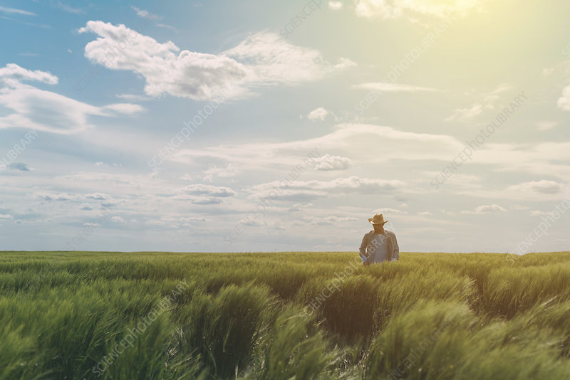 Male farmer walking through green wheat field