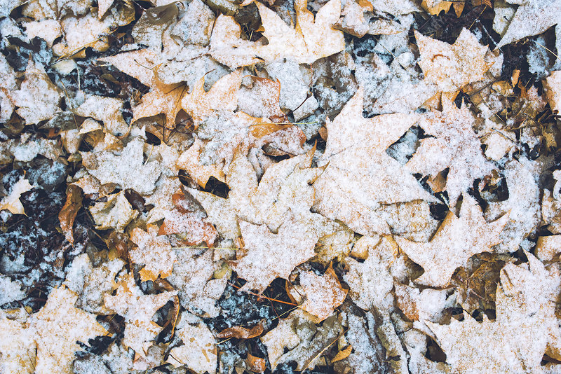 Dry maple leaves under snow