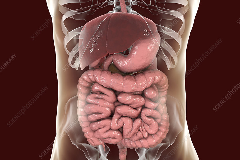 Illustration of the human digestive system