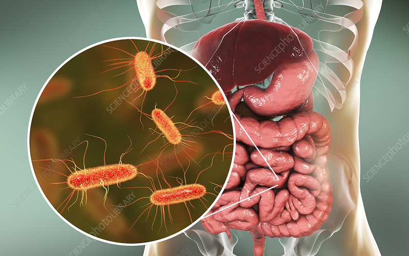 E coli bacteria in human intestine, illustration