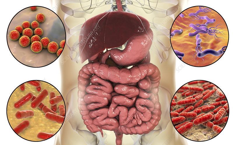 Bacteria in human digestive system, illustration