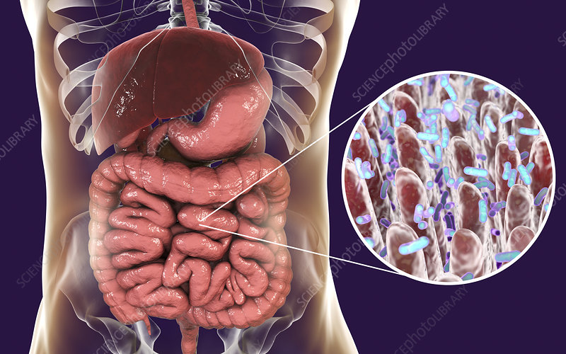 Intestinal microbes, illustration