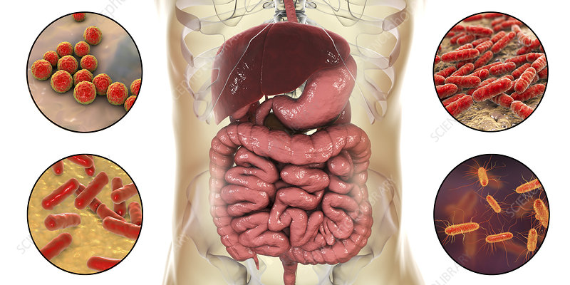 Normal microbiome of human intestine, illustration