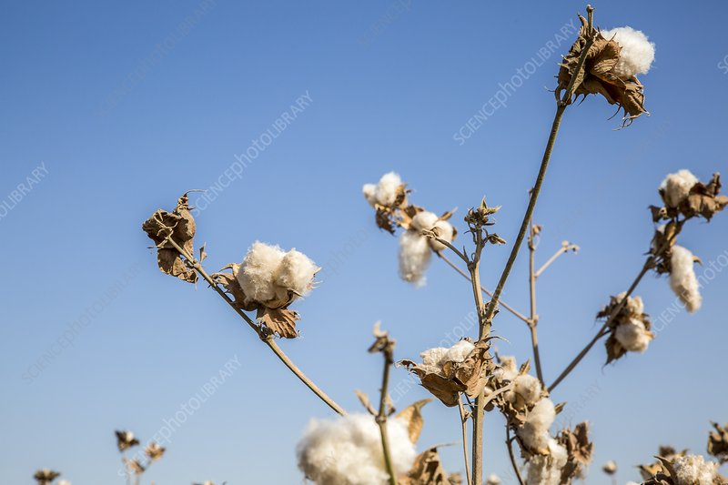 Ripe cotton in field