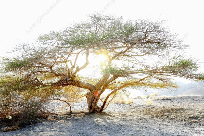 Umbrella Thorn Acacia Acacia Tortilis Stock Image F0213845