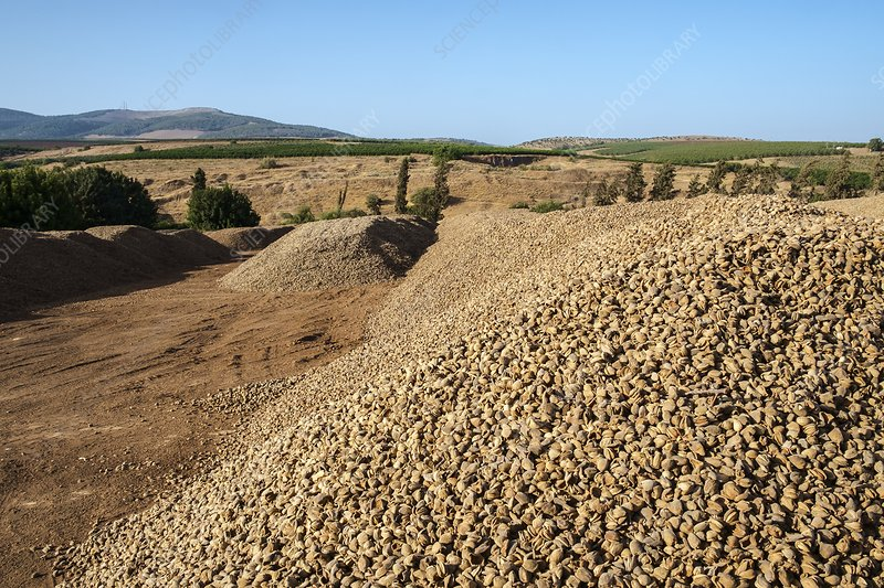 Almonds drying in the sun